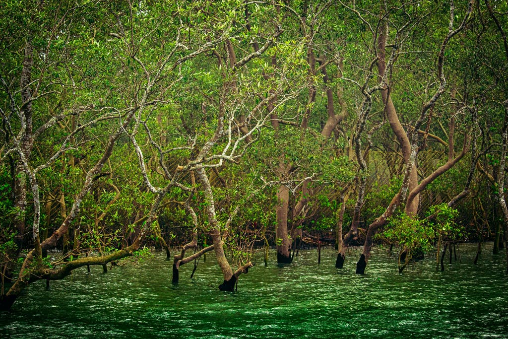 Mangroves in Sundarban, India.